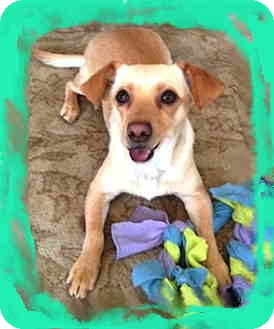 Terrier (Unknown Type, Small)/Chihuahua Mix Dog for adoption in Pasadena, California - Jack - Video