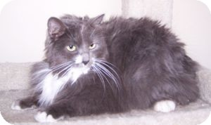 Domestic Longhair Cat for adoption in Colorado Springs, Colorado - Miss Willow (MIssy)