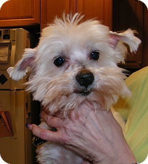 Maltese Dog for adoption in Blairstown, New Jersey - Chester