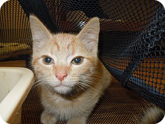 Domestic Shorthair Kitten for adoption in Medina, Ohio - Dusty