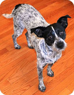 Cattle Dog/Schnauzer (Miniature) Mix Dog for adoption in Washington, D.C. - Dottie Rae