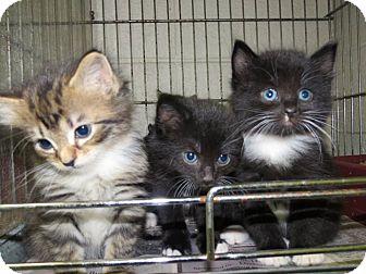 Domestic Shorthair Cat for adoption in Henderson, North Carolina - TEMPTRESS & T-KITTENS
