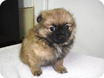 Pomeranian/Lhasa Apso Mix Puppy for adoption in Bartonsville, Pennsylvania - Riley
