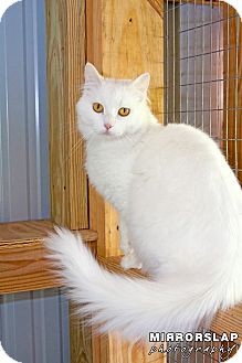 Turkish Angora Cat for adoption in Monterey, Virginia - Snowflake