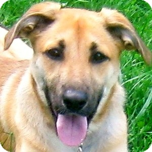 Shepherd (Unknown Type)/Black Mouth Cur Mix Dog for adoption in Hillsboro, Ohio - Princess