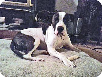 Pit Bull Terrier Mix Dog for adoption in Hainesville, Illinois - Mash