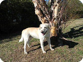 Labrador Retriever Dog for adoption in Tyner, North Carolina - Blu