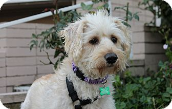 Wheaten Terrier Mix Dog for adoption in Los Angeles, California - Blitz - 34lbs