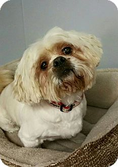 Shih Tzu Mix Dog for adoption in Urbana, Ohio - Jingles