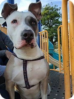 Pit Bull Terrier Mix Dog for adoption in Tujunga, California - DeeDee