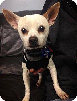 Chihuahua Dog for adoption in Portland, Oregon - Hugo