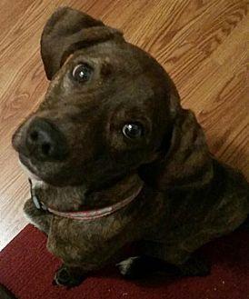 Plott Hound Mix Dog for adoption in Indianapolis, Indiana - Marin