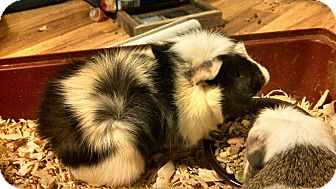 Guinea Pig for adoption in Hamden, Connecticut - Lina