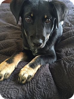 German Shepherd Dog Mix Puppy for adoption in Bedminster, New Jersey - Dixie