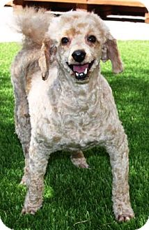 Poodle (Miniature) Mix Dog for adoption in Gilbert, Arizona - Lutie Anne