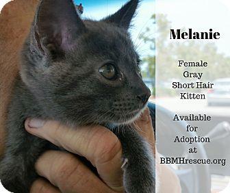 Domestic Shorthair Kitten for adoption in Temecula, California - Melanie