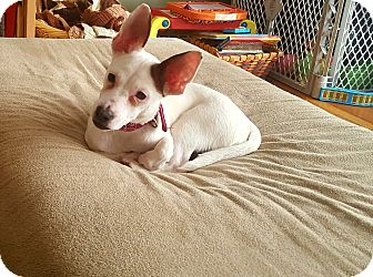 Jack Russell Terrier Mix Puppy for adoption in Lancaster, Pennsylvania - Pixie
