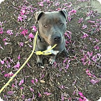 American Staffordshire Terrier Dog for adoption in Lancaster, California - Bruno