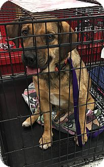 Shepherd (Unknown Type) Mix Dog for adoption in Tucson, Arizona - Robin