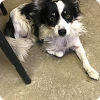 Adopt A Pet :: KILLER - Cadiz, OH