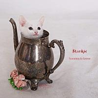 Adopt A Pet :: Sharkie - Sherman Oaks, CA
