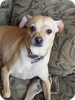 Chihuahua Dog for adoption in Troy, Illinois - Tia (Fostered Danette)