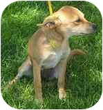 Chihuahua Mix Puppy for adoption in Albuquerque, New Mexico - Blondie