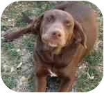 Labrador Retriever Mix Dog for adoption in Rochester, New Hampshire - Coco Girl   adopted