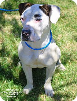 American Pit Bull Terrier Mix Dog for adoption in Yuba City, California - Peaches