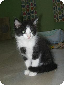 Domestic Longhair Kitten for adoption in Edmond, Oklahoma - Louie