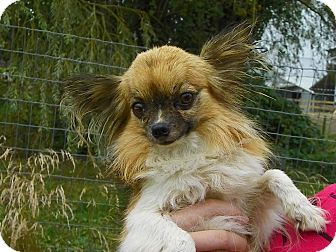 Papillon Mix Dog for adoption in Vancouver, British Columbia - Chica