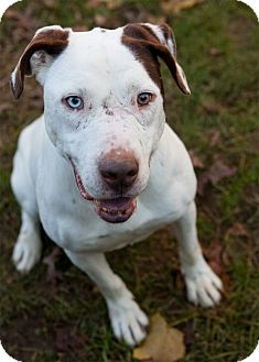 American Pit Bull Terrier Mix Dog for adoption in Rockaway, New Jersey - Jack