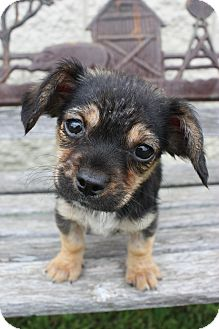 Dachshund/Pekingese Mix Puppy for adoption in Stilwell, Oklahoma - Ellie