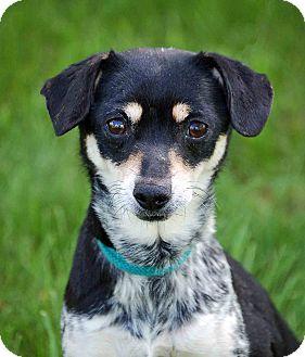 Jack Russell Terrier/Australian Cattle Dog Mix Dog for adoption in Mora, Minnesota - Crystal