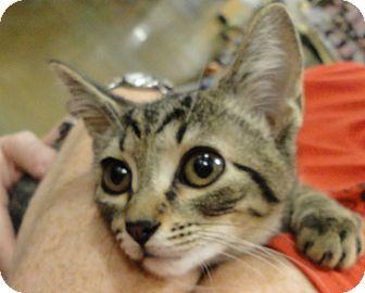 Domestic Shorthair Cat for adoption in Columbus, Georgia - Luna