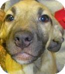 Hound (Unknown Type)/Retriever (Unknown Type) Mix Puppy for adoption in Lincolnton, North Carolina - Joceyln