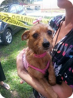 Terrier (Unknown Type, Small) Mix Dog for adoption in Brooksville, Florida - Brunette