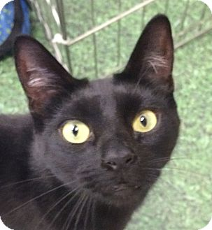 Domestic Shorthair Cat for adoption in Winchester, California - Ozzie