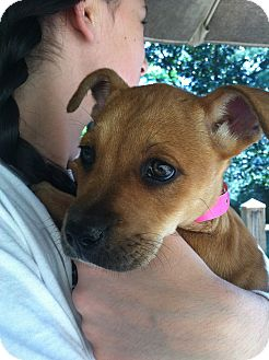 Boxer/German Shepherd Dog Mix Puppy for adoption in CHAMPAIGN, Illinois - ISABELLE