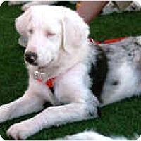 Adopt A Pet :: Chip - Mesa, AZ