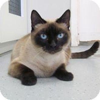 Siamese Cat for adoption in San Leon, Texas - Paris