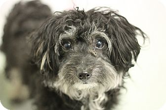 Poodle (Miniature)/Yorkie, Yorkshire Terrier Mix Dog for adoption in Medfield, Massachusetts - Carly-