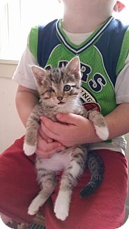 Domestic Shorthair Kitten for adoption in Wayzata, Minnesota - Scooter