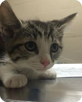 Domestic Shorthair Kitten for adoption in Parma, Ohio - Donnie