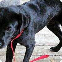 Adopt A Pet :: Boomer - Naugatuck, CT