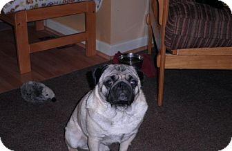 Pug Mix Dog for adoption in Rockville, Maryland - Doug