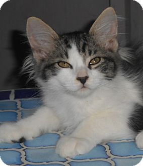 Domestic Mediumhair Kitten for adoption in North Highlands, California - Lorne