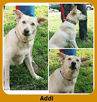 Labrador Retriever/German Shepherd Dog Mix Puppy for adoption in Malvern, Arkansas - ADDY