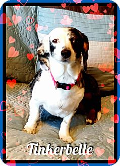 Dachshund Dog for adoption in Green Cove Springs, Florida - Tinkerbelle