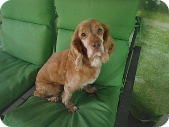 Cocker Spaniel Dog for adoption in Kannapolis, North Carolina - Lucky Boy/Special Needs Foster